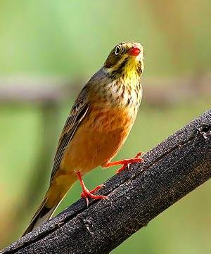 Rare species of bird, the Ortolan.