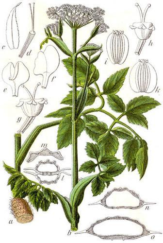 starodub lakowy